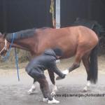 Dehnung der Gesässmuskulatur beim Pferd