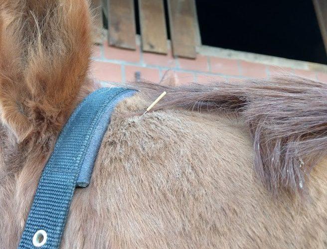 Dry Needling Nackenmuskulatur beim Pferd
