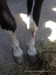oberflächliche Verletzungen an den vorder Beinen eines Pferdes